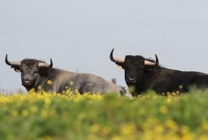 visitar-ganaderias-de-toros-bravos